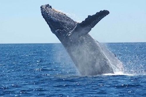 whale migration sydney, watch whales Cronulla